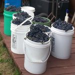 buckets of red wine grapes