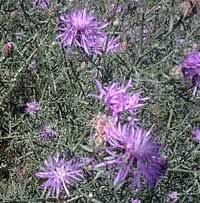 starthistle flowers